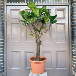 Mature Fiddle Leaf Fig