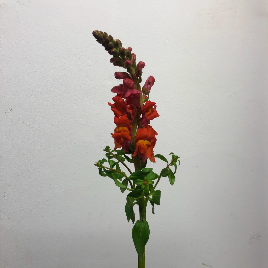 Antirrhinum Orange