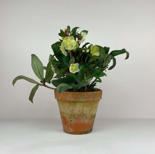 Large Potted Terracotta Hellebore