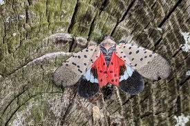 The Dreaded Spotted Lanternfly