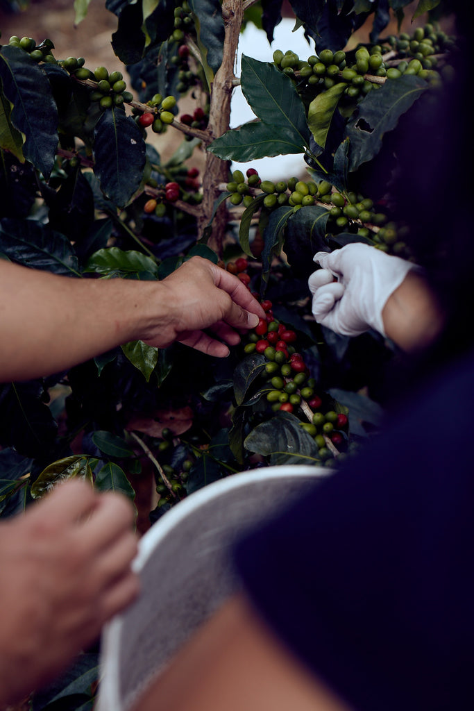 big island coffee harvesting