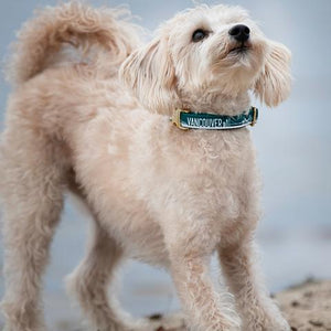 Bone and Bred VANCOUVER Teal + Gold Buckle Collar