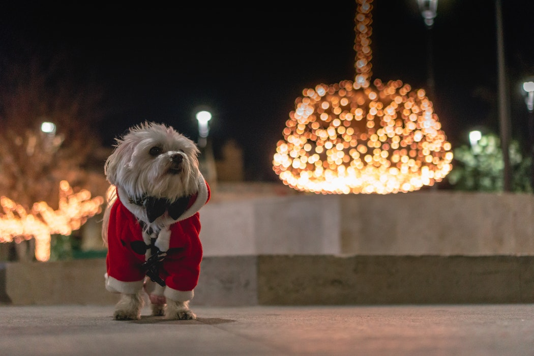 dog standing in front of Christmas decorations