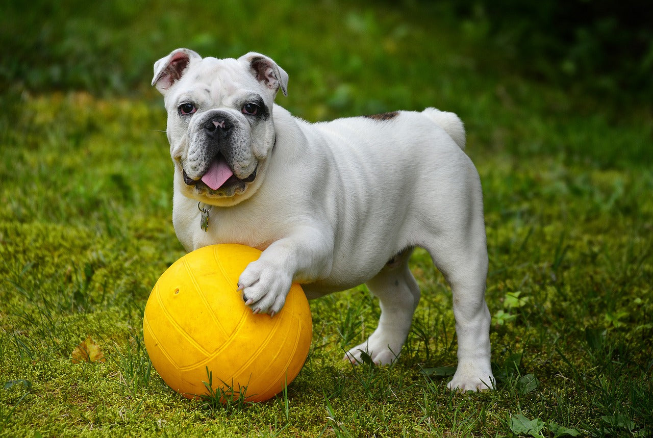 dog playing with ball