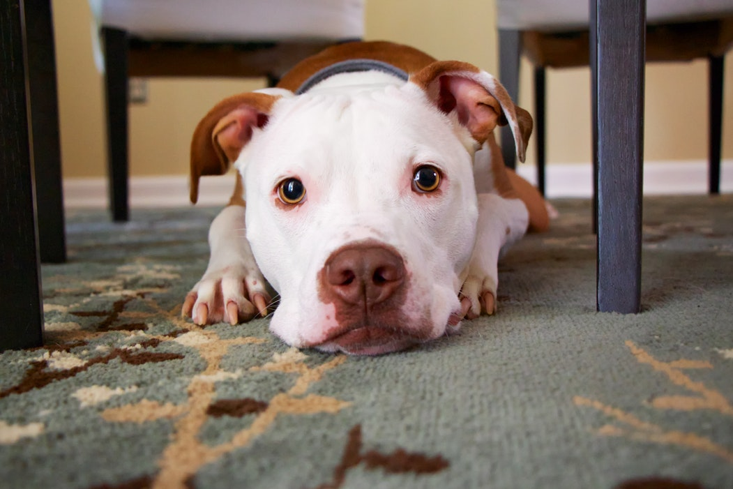 dog sitting under the chair looking at the camera