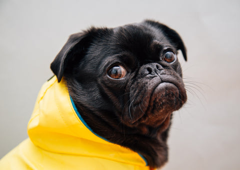 pug-dog-in-a-raincoat