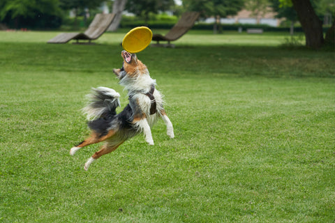 dog-jumping-for-frizbee-toy