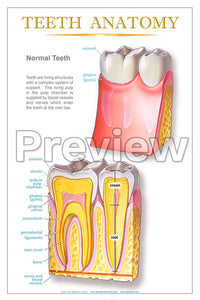 Teeth Anatomy Wall Chart