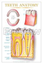 Load image into Gallery viewer, Teeth Anatomy Wall Chart