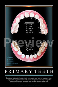 Primary Teeth Wall Chart