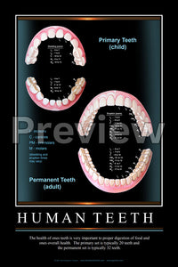 Primary & Permanent Teeth Wall Chart