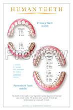 Load image into Gallery viewer, Primary & Permanent Teeth Wall Chart