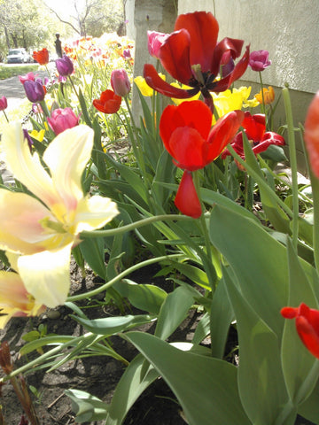 Tulips in MTSO store garden