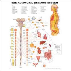 Chart illustrates the autonomic nervous system