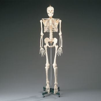 budget full-size skeleton model
