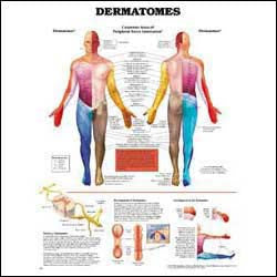 Chart illustrates dermatomes