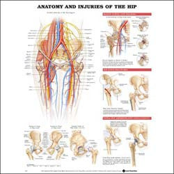 Chart illustrates anatomy and injuries of the hip