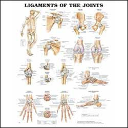 Chart illustrates ligaments of the joints