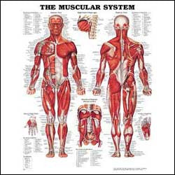 Chart illustrates muscular system