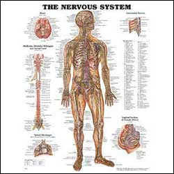 Chart illustrates nervous system