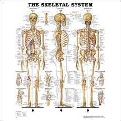Chart illustrates the skeletal system
