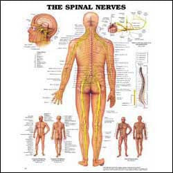 Chart illustrates the spinal nerves
