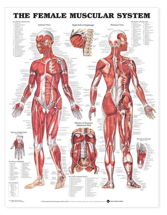 The Female Muscular System Anatomical Chart  (Laminated)