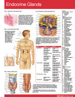 Endocrine Glands Permachart