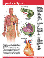 Lymphatic System Permachart