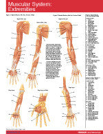 Muscular System Extremities Permachart