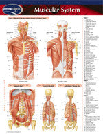 Permachart of muscular system - 2 panels