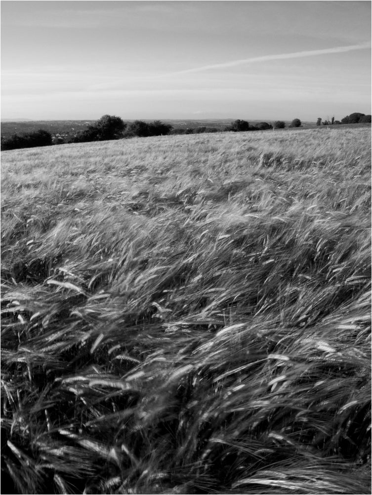 Donnybrook Wheat