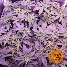 Load image into Gallery viewer, 8 Ball Kush - Barney's Farm 🚺