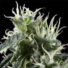 Load image into Gallery viewer, Arjan's Haze #2 - Green House Seed Co 🚺