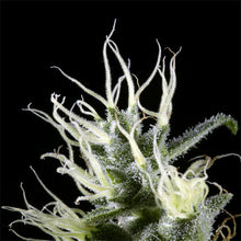 Load image into Gallery viewer, Arjan's Haze #3 - Green House Seed Co 🚺