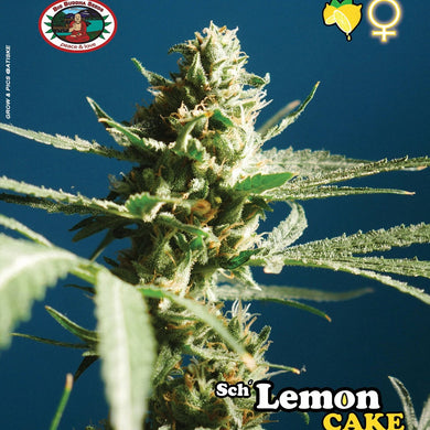 Sch'Lemon Cake - Big Buddha Seeds🚺