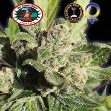 Load image into Gallery viewer, Blue Cheese - Big Buddha Seeds🚺