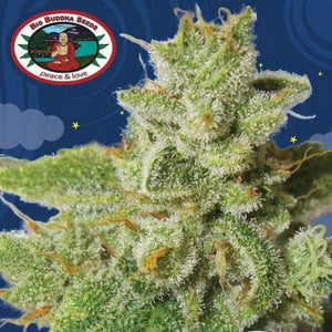Cherry Moon Pie -  Big Buddha Seeds🚺