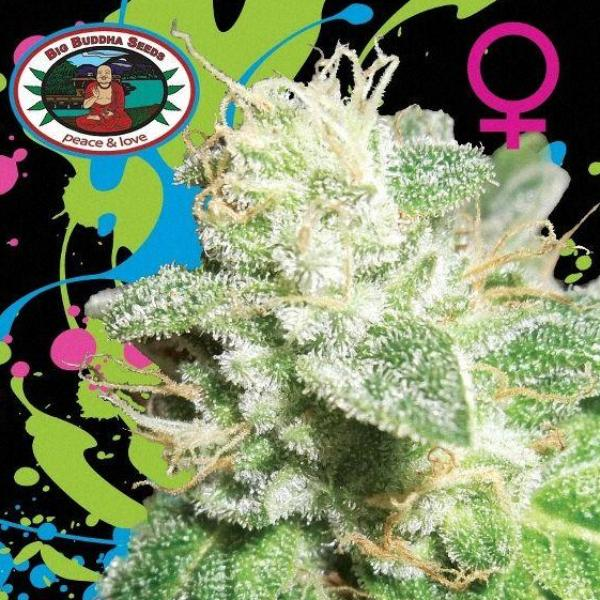 Head Cheese -  Big Buddha Seeds🚺