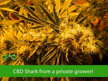 Load image into Gallery viewer, Shark Shock CBD - CBD Crew🚺