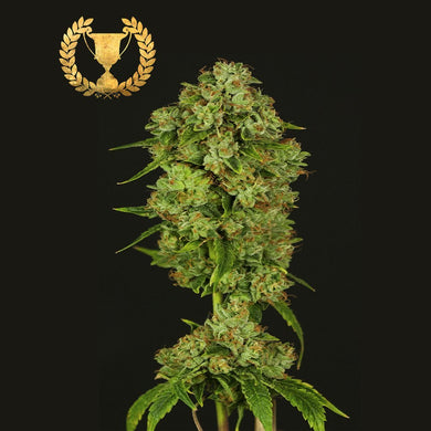 Casey Jones - Devil's Harvest Seeds🚺