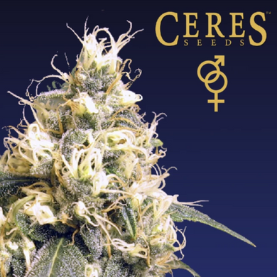 Ceres Kush - Ceres Seeds🚺