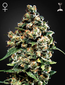 Jack Herer - Green House Seed Co 🚺