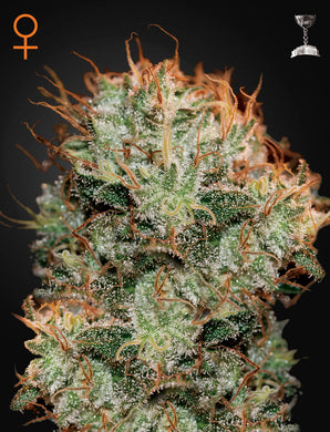 Kaia Kush - Green House Seed Co 🚺