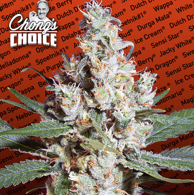 LA Amnesia (Sativa) - Chongs Choice 🚺