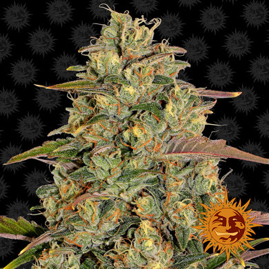 Amnesia Lemon - Barney's Farm🚺
