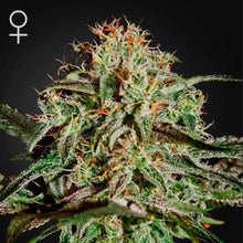 Load image into Gallery viewer, AMS - Green House Seed Co 🚺