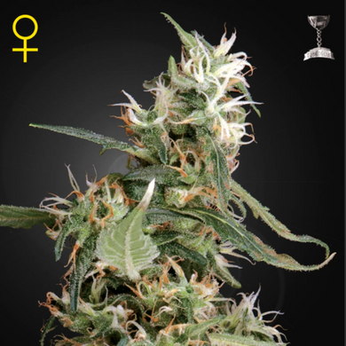 Arjan's Ultra Haze #1 - Green House Seed Co 🚺