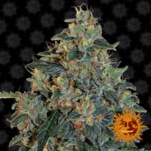 Load image into Gallery viewer, Blueberry OG - Barney's Farm🚺