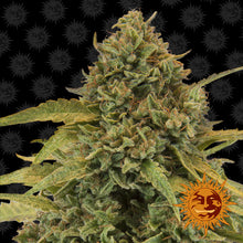 Load image into Gallery viewer, Bad Azz Kush - Barney's Farm🚺